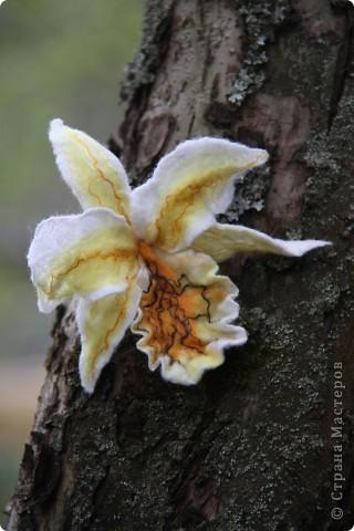 Орхидея Каттлея фото 6