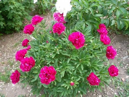 Если вас не утомила предыдущая прогулка по саду с ирисами,приглашаю  в гости на пионы... фото 5