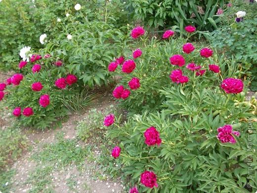 Если вас не утомила предыдущая прогулка по саду с ирисами,приглашаю  в гости на пионы... фото 4