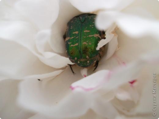 Если вас не утомила предыдущая прогулка по саду с ирисами,приглашаю  в гости на пионы... фото 6