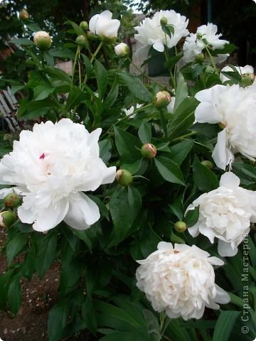 Если вас не утомила предыдущая прогулка по саду с ирисами,приглашаю  в гости на пионы... фото 3