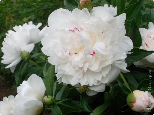 Если вас не утомила предыдущая прогулка по саду с ирисами,приглашаю  в гости на пионы... фото 2