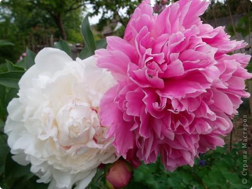 Если вас не утомила предыдущая прогулка по саду с ирисами,приглашаю  в гости на пионы... фото 1