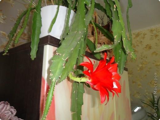 Распустилась у нас такая красота. Не знаю, что это за цветок но цветет шикарно, на мой взгляд. Достался мне он лет 9 назад. С тех пор и радует он нас .  фото 1