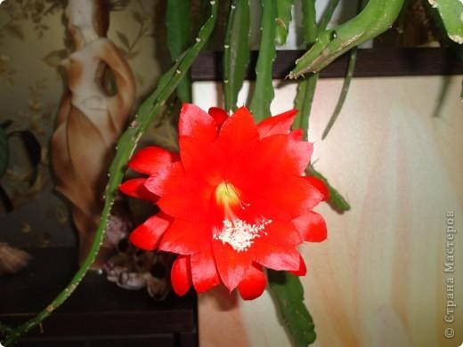 Распустилась у нас такая красота. Не знаю, что это за цветок но цветет шикарно, на мой взгляд. Достался мне он лет 9 назад. С тех пор и радует он нас .  фото 2