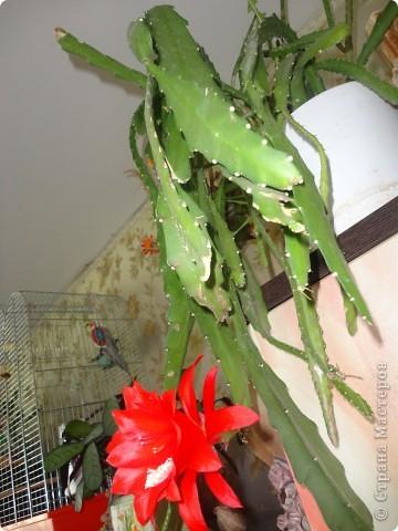Распустилась у нас такая красота. Не знаю, что это за цветок но цветет шикарно, на мой взгляд. Достался мне он лет 9 назад. С тех пор и радует он нас .  фото 3