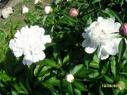 В этот сезон все так быстро зацветает и с такой же скоростью отцветает что будет цвести летом большой вопрос ? пионы как правило расцветали в конце мая  а розы в июне   а нынче все и расцветет и отцветет наверное в мае! фото 11