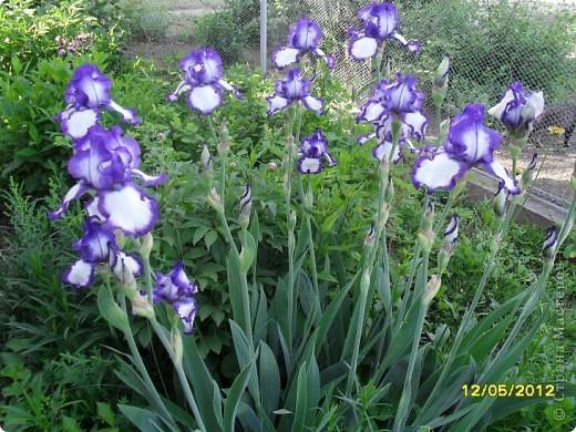В этот сезон все так быстро зацветает и с такой же скоростью отцветает что будет цвести летом большой вопрос ? пионы как правило расцветали в конце мая  а розы в июне   а нынче все и расцветет и отцветет наверное в мае! фото 10
