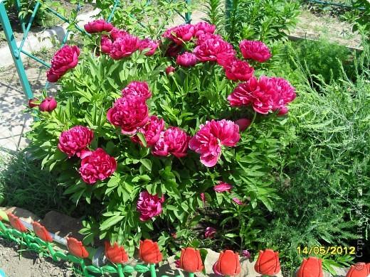 В этот сезон все так быстро зацветает и с такой же скоростью отцветает что будет цвести летом большой вопрос ? пионы как правило расцветали в конце мая  а розы в июне   а нынче все и расцветет и отцветет наверное в мае! фото 1