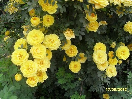 В этот сезон все так быстро зацветает и с такой же скоростью отцветает что будет цвести летом большой вопрос ? пионы как правило расцветали в конце мая  а розы в июне   а нынче все и расцветет и отцветет наверное в мае! фото 12