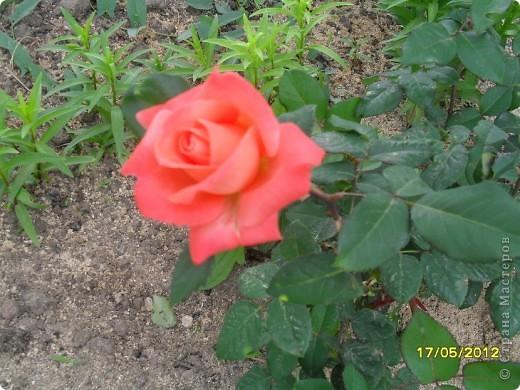 В этот сезон все так быстро зацветает и с такой же скоростью отцветает что будет цвести летом большой вопрос ? пионы как правило расцветали в конце мая  а розы в июне   а нынче все и расцветет и отцветет наверное в мае! фото 4