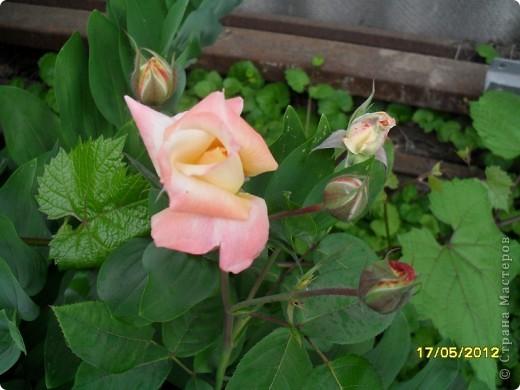 В этот сезон все так быстро зацветает и с такой же скоростью отцветает что будет цвести летом большой вопрос ? пионы как правило расцветали в конце мая  а розы в июне   а нынче все и расцветет и отцветет наверное в мае! фото 6