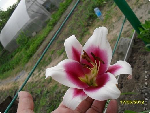 В этот сезон все так быстро зацветает и с такой же скоростью отцветает что будет цвести летом большой вопрос ? пионы как правило расцветали в конце мая  а розы в июне   а нынче все и расцветет и отцветет наверное в мае! фото 9
