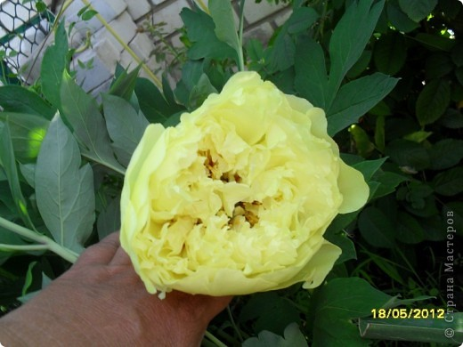 В этот сезон все так быстро зацветает и с такой же скоростью отцветает что будет цвести летом большой вопрос ? пионы как правило расцветали в конце мая  а розы в июне   а нынче все и расцветет и отцветет наверное в мае! фото 3