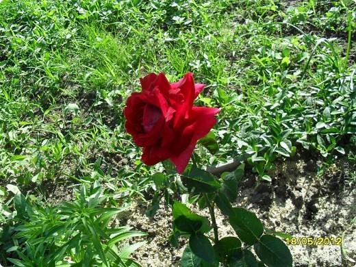 В этот сезон все так быстро зацветает и с такой же скоростью отцветает что будет цвести летом большой вопрос ? пионы как правило расцветали в конце мая  а розы в июне   а нынче все и расцветет и отцветет наверное в мае! фото 7