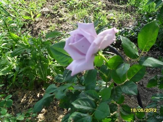 В этот сезон все так быстро зацветает и с такой же скоростью отцветает что будет цвести летом большой вопрос ? пионы как правило расцветали в конце мая  а розы в июне   а нынче все и расцветет и отцветет наверное в мае! фото 5