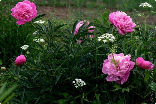 мои тюльпаны фото 5