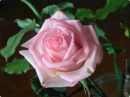 Это вторая моя роза. Первую совсем стыдно показывать))) фото 2