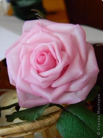 Это вторая моя роза. Первую совсем стыдно показывать))) фото 1