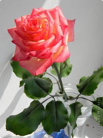 Это вторая моя роза. Первую совсем стыдно показывать))) фото 5
