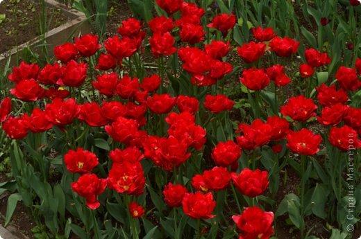 Тюльпаны и прочие цветочки фото 3