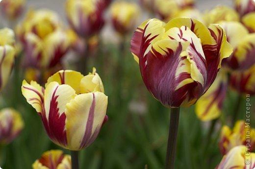 Тюльпаны и прочие цветочки фото 5