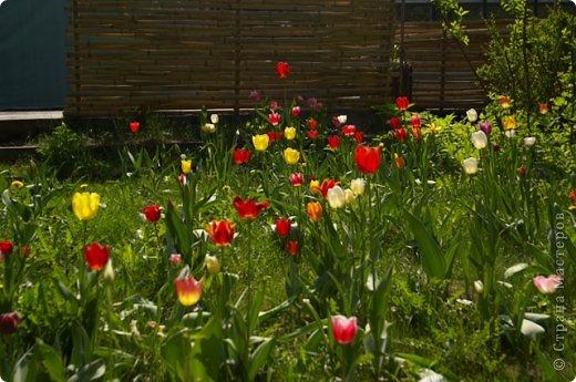 Тюльпаны и прочие цветочки фото 8