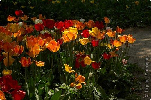 Тюльпаны и прочие цветочки фото 10