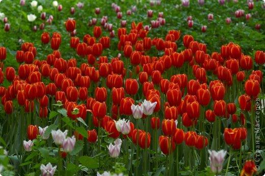 Тюльпаны и прочие цветочки фото 12