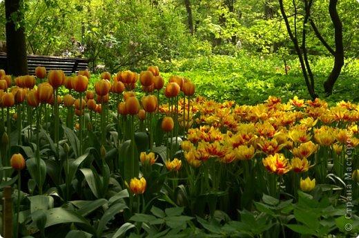 Тюльпаны и прочие цветочки фото 15
