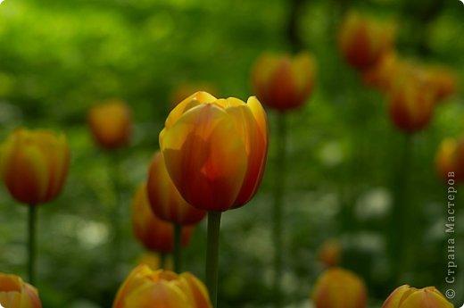Тюльпаны и прочие цветочки фото 16