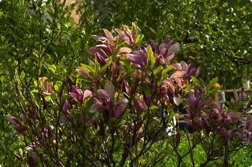 Тюльпаны и прочие цветочки фото 18