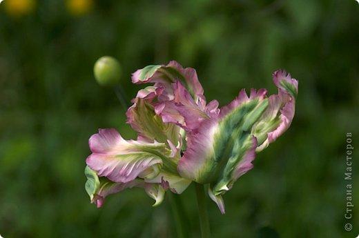 Тюльпаны и прочие цветочки фото 19
