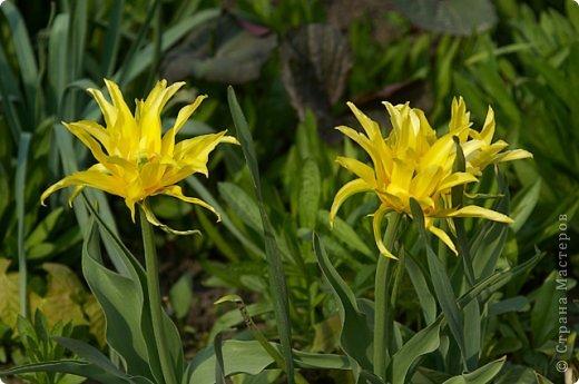 Тюльпаны и прочие цветочки фото 20