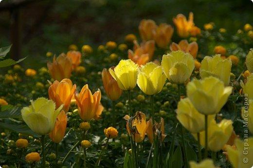 Тюльпаны и прочие цветочки фото 25