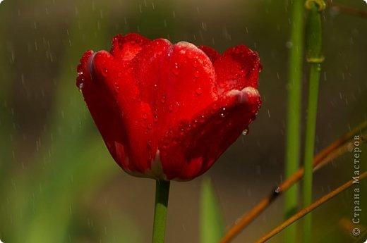 Тюльпаны и прочие цветочки фото 30