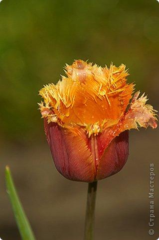 Тюльпаны и прочие цветочки фото 31