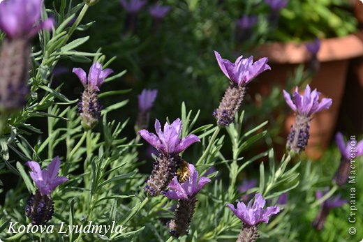 Несколько дней назад сшила эти саше, внутри которых находятся семена лаванды. Семена очень ароматны и продолжительное время сохраняют стойкий приятный запах (семена которые я использовала собирала еще прошлым летом, но они ничуть не утратили своей пахучести).  Свойства лаванды поистине уникальны. Эфирные масла лаванды издавна использовали в аромотерапии. Они обладают успокаивающими, умиротворяющими свойствами. Благотворительно влияют на нервную систему, помогают избавиться от бессонницы, стресса и депрессии. Обладают сильным ранозаживляющим и дезинфицирующим свойствами, а также иммуностимулирующими. Имеет целый ряд целебных действий, помогает избавиться от кашля. Мешочки с лавандой хорошо вешать у изголовье кровати, особенно детской. Ребенок будет спать крепко и спокойно. Ну, в общем, многосторонние положительное влияние на наш организм дает эфирное масло лаванды, которое содержится как в листьях, так и в ее соцветиях.  Мне хотелось, чтоб такие аромо-мешочки не только прекрасно пахли, но и были украшением интерьера. И когда в руки попались выкройки этих саше я сразу приступила шить. Делать их очень легко, за один вечер вполне возможно сделать 3-5 штучек. Итак, мне понадобились: - фетр двух цветов ( я использовала белый и фиолетовый) - органза - нитки контрастного цвета - разные ленточки, цветочки ... бусины - это уже по желанию - клеевой пистолет. фото 23