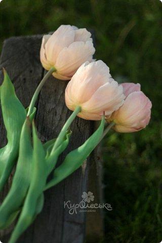 """Вдогонку к моей цветущей яблоньке:https://stranamasterov.ru/node/931479, снова слепились у меня тюльпаны. На этот раз попробовала слепить махровые, многолепестковые. Т.к. увидела такое чудо, еще весной, в Московском """"аптекарском огороде"""". Очень они меня впечатлили наверное.  Много подробных фотографий, можно увидеть здесь: https://fotki.yandex.ru/users/oleska-kuroleska/album/476035/ Приятного просмотра! фото 5"""