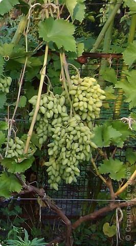"""""""Гроздь виноград"""" фото 4"""