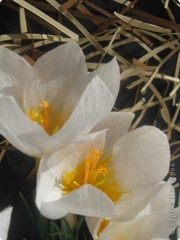 У моей мамы в саду самыми первыми зацвели крокусы.Когда я узнала о конкурсе я решила, что делать буду их. фото 2