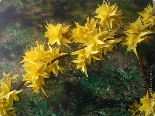 Наступила настоящая весна!!! В городе зацвели потрясающие кустики форзиции.  фото 1