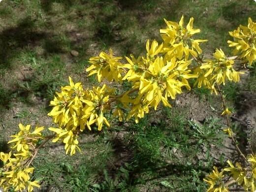 Наступила настоящая весна!!! В городе зацвели потрясающие кустики форзиции.  фото 4