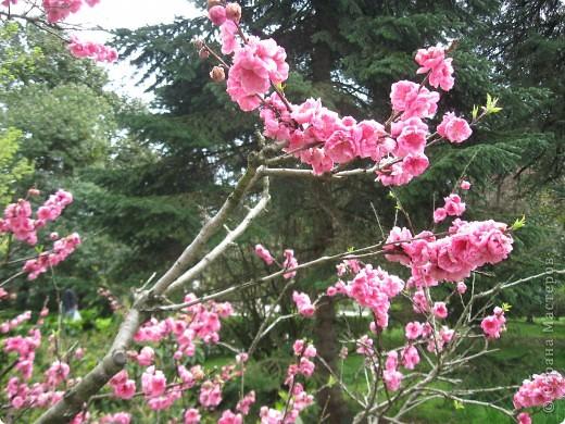 цветущая ветка сакуры фото 2