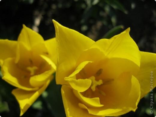 Мой тюльпановый водопад. фото 8