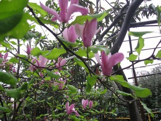 цветок магнолии фото 3