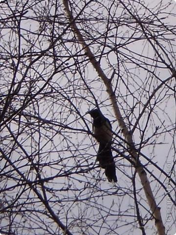 Сорока, берёза и  гнездо фото 6