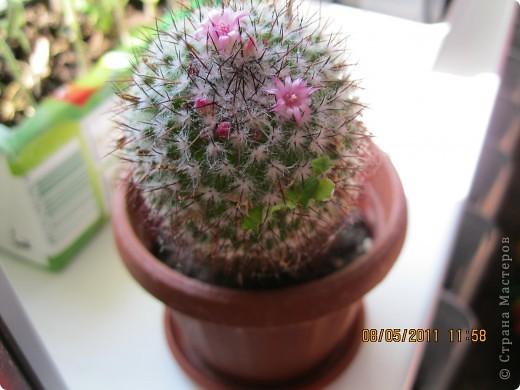 Gymnocactus viereckii ( техника торцевание) фото 5