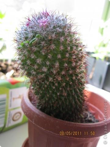 Gymnocactus viereckii ( техника торцевание) фото 4