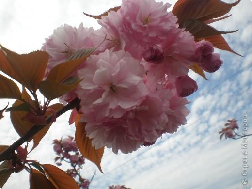 Теперь  цветущая сакура украшает наш дом. фото 4